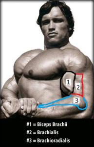 biceps_zirvesi